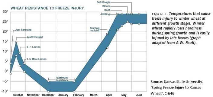 wheat resistance to freeze injury