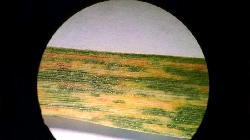 Wheat_Streak_Mosaic_UnderMicroscope