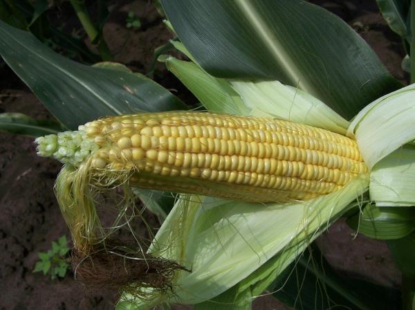 Corn_Fig_2