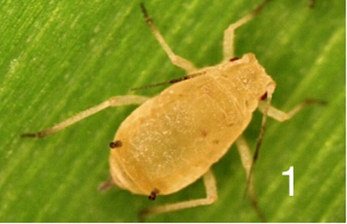Sugarcane Aphid