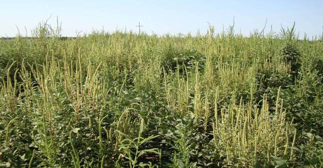 Palmer Amaranth | Weed Control | Agronomy | Sunflower District